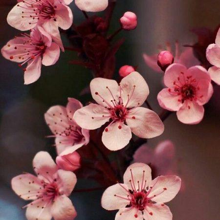 Kiseleff-flower